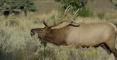 Yellowstone big male elk walking and threatening