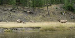 Yellowstone big male elk looking at females during the rut next to the Madison River