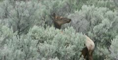 Yellowstone female elk calf licking nervously, has newborn baby hidden
