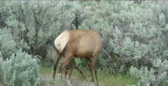 Yellowstone female elk and newborn calf, calf finally nurses for the first time