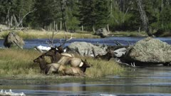 Yellowstone big male elk sitting next to Madison river with females and calves