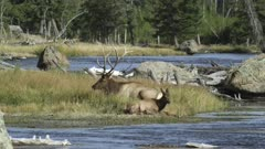 Yellowstone big male elk sitting next to Madison river with 1 calf