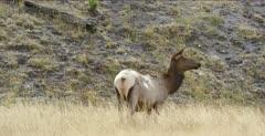 Yellowstone female elk watching, chewing