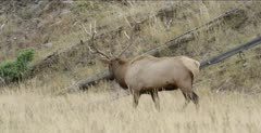 Yellowstone large male elk in rut walking