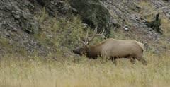 Yellowstone large male elk in rut walking fast looking for enemies
