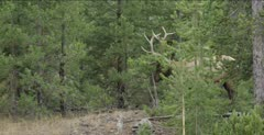 Yellowstone large male elk in rut rubbing antlers on small pine tree