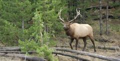 Yellowstone large male elk in rut walking, looking