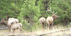 Yellowstone large male elk in rut walking, scares females and calves, bugles