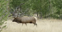 Yellowstone large male elk in rut walking, looking, bugles