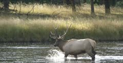 Yellowstone large male elk in rut walking across Madison River