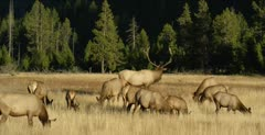 Yellowstone large male elk in rut with his harem