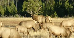 Yellowstone large male elk in rut grazing with his harem