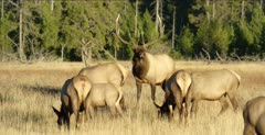 Yellowstone large male elk in rut grazing, sniffing with his harem
