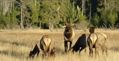 Yellowstone large male elk in rut sniff a couple of females, bugling