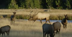 Yellowstone large male elk in rut chasing calf, bugling