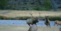Yellowstone large male elk in rut running after cow, bugling