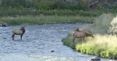 Yellowstone medium sized male elk in rut standing in Gardner River watching his harem