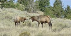 2 Yellowstone smallish male elk in rut locking antlers