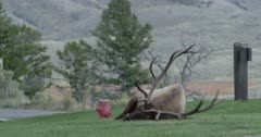 Yellowstone large male elk (Touchdown) in rut sitting and rubbing antlers in Mammoth