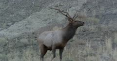 Yellowstone medium sized male elk scared of Touchdown in rut