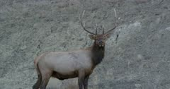 Yellowstone medium sized male elk scared of Touchdown in rut following females