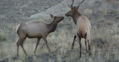 Yellowstone medium sized male elk scared of Touchdown in rut trying to mate with female