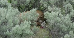 Yellowstone female elk in sage eating placenta