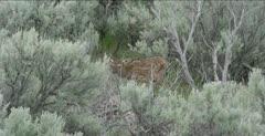 Yellowstone female elk, newborn elk wobbling and investigating
