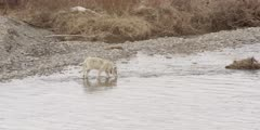 Yellowstone wolf walking, comes up to Lamar River and gets a drink