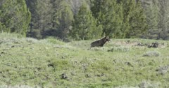 Yellowstone wolf, black, digging up a ground squirrel, gives up