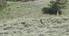 Yellowstone wolf, black, digging up a ground squirrel