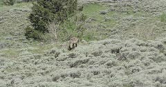 Yellowstone wolf, black, walking carrying ground squirrel