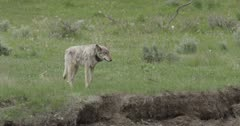 Yellowstone wolf, gray walking along Lamar River bank, collared