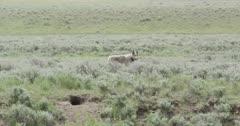 Yellowstone wolf, gray walking away from Lamar River