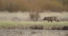 Yellowstone wolf, black walking near confluence of Lamar River and Soda Butte Creek