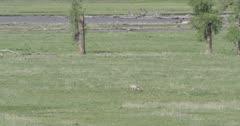 1 Yellowstone wolf walking near Lamar River, wide