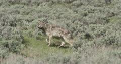 1 Yellowstone wolf, gray, walking near Lamar River