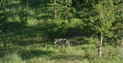 1 Yellowstone wolf, 755M alpha male of Wapiti pack, earlier alpha of Lamar pack (only Yellowstone wolf to be alpha male of 2 different packs, watching, walking, wide