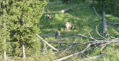 Yellowstone Wolf 755M, Wapiti alpha male, sits to wait for grizzly to leave elk carcass