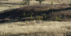 Wapiti Pack alpha female (daughter of Canyon white female) wants carcass but afraid of people