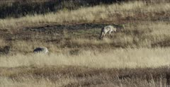 Wapiti Pack alpha female walks away from carcass while Wapiti alpha male, 755M, walks to carcass