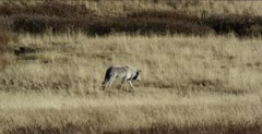 Wapiti alpha male, 755M, walks towards carcass, then chickens out