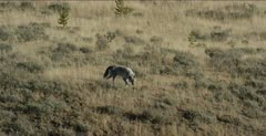 Wapiti alpha male, 755M, walks away from carcass