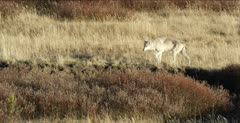 Wapiti Pack alpha female walks to carcass, then away, semi wide