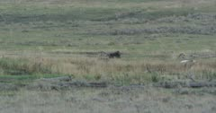 wolf walks up to a dying bison and harasses it for a while then sits down