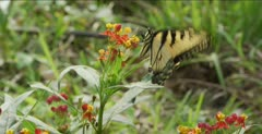 Tiger Swallowtail, Butterfly Milkweed