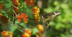 Tiger Swallowtail, Texas Lantana