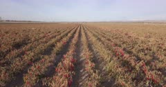 chili peppers field south of San Antonio, New Mexico