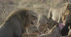 African Lions feeding on a Cape Buffalo Behavior Sequence  - with text