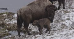 Bison Falls Into Pond